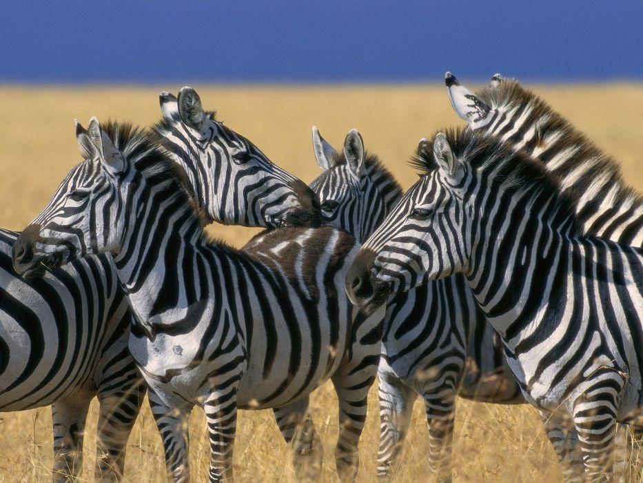 nature animals zebras national mara plains Kenya wallpaper