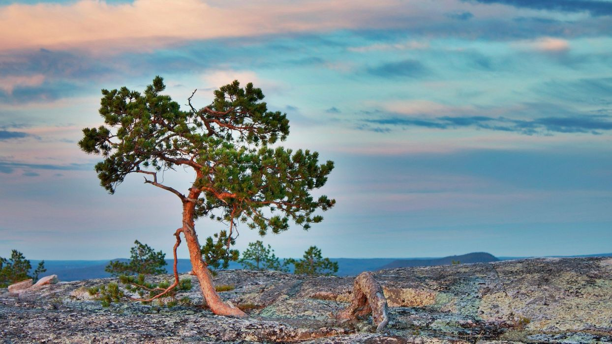 landscapes trees pine trees wallpaper