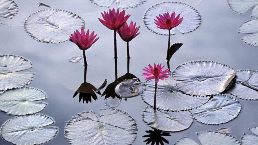 nature flowers Viet Nam imperial city lotus flower wallpaper