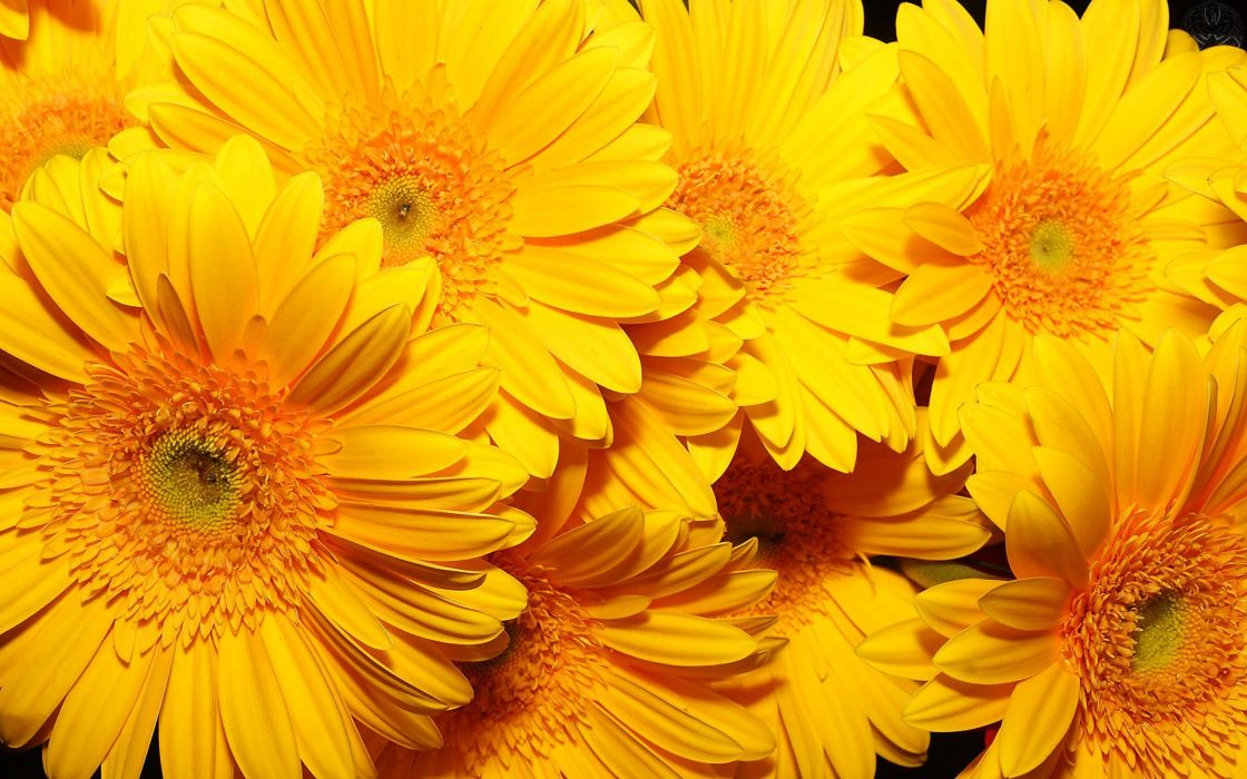 flowers yellow flowers wallpaper