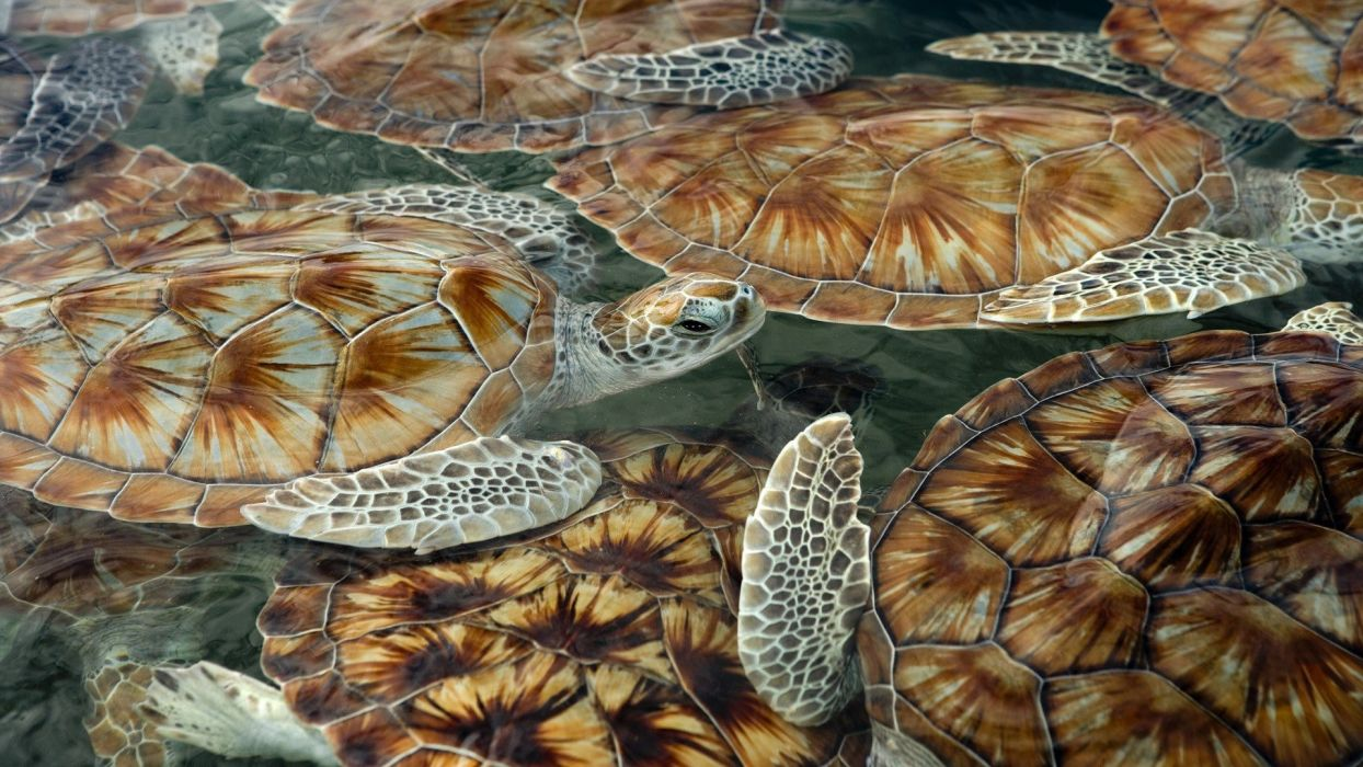 green sea turtles wallpaper