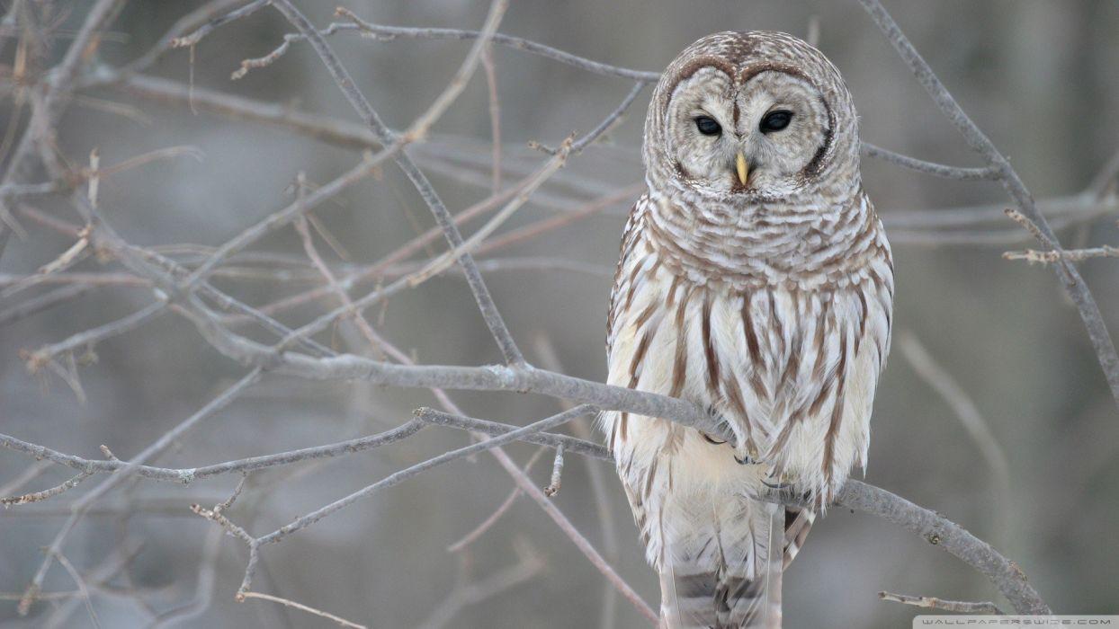 birds white owl wallpaper