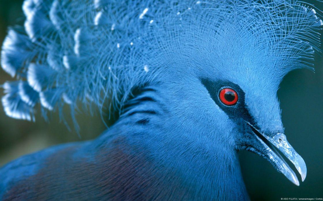 nature birds animals pigeons Victoria Crowned Pigeon wallpaper