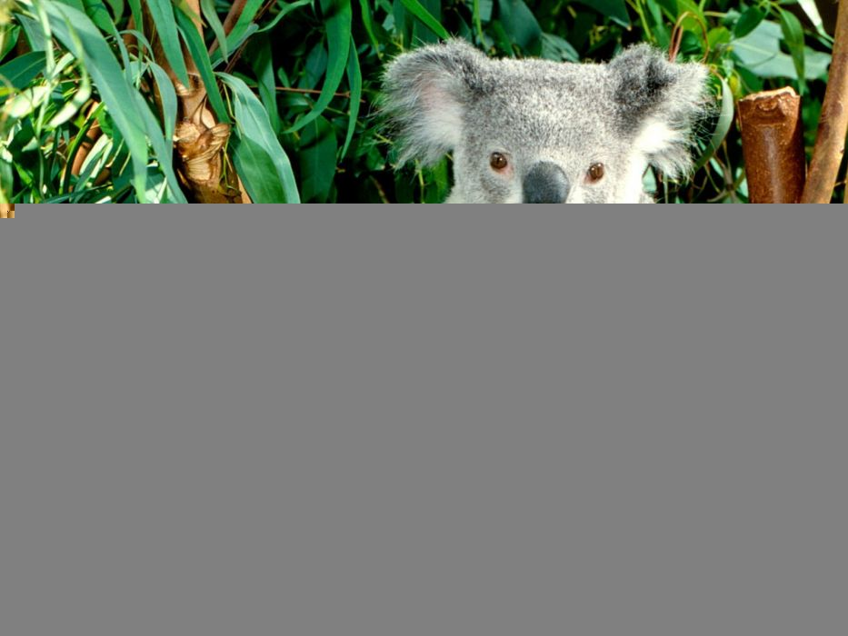 animals koalas wallpaper