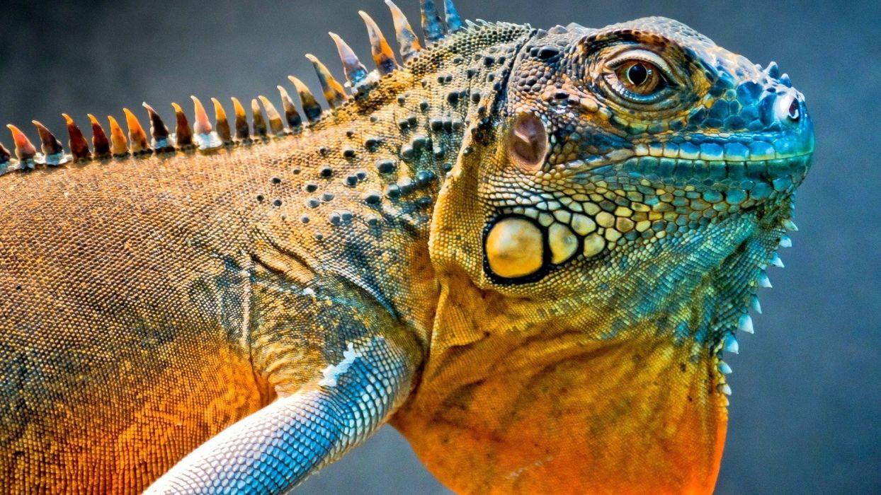 close-up reptiles iguana wallpaper