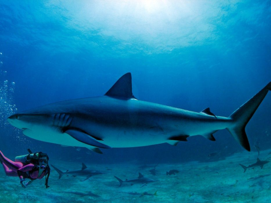 sharks Bahamas wallpaper