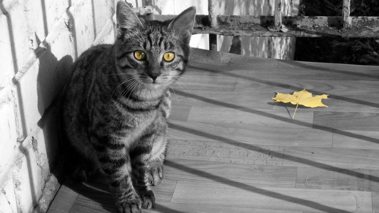 cats animals leaves yellow eyes selective coloring wallpaper