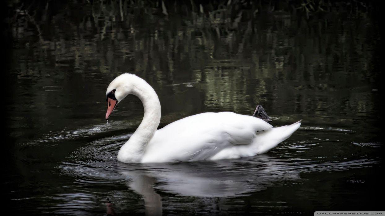 water nature birds swans wallpaper