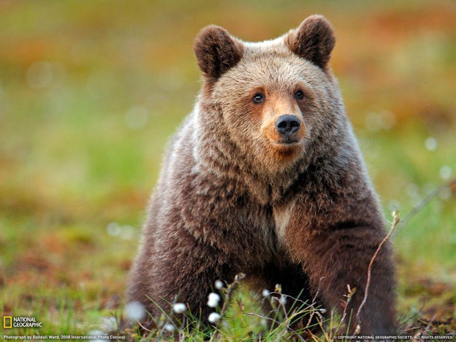 animals bears wallpaper