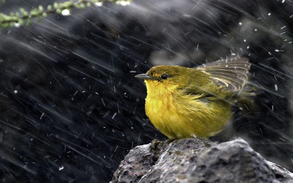 rain birds wind yellow warbler Warblers wallpaper