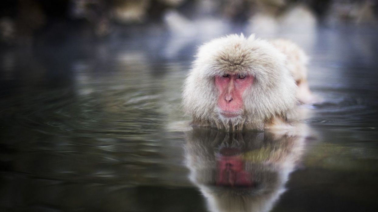 water animals snow monkey Japanese Macaque wallpaper