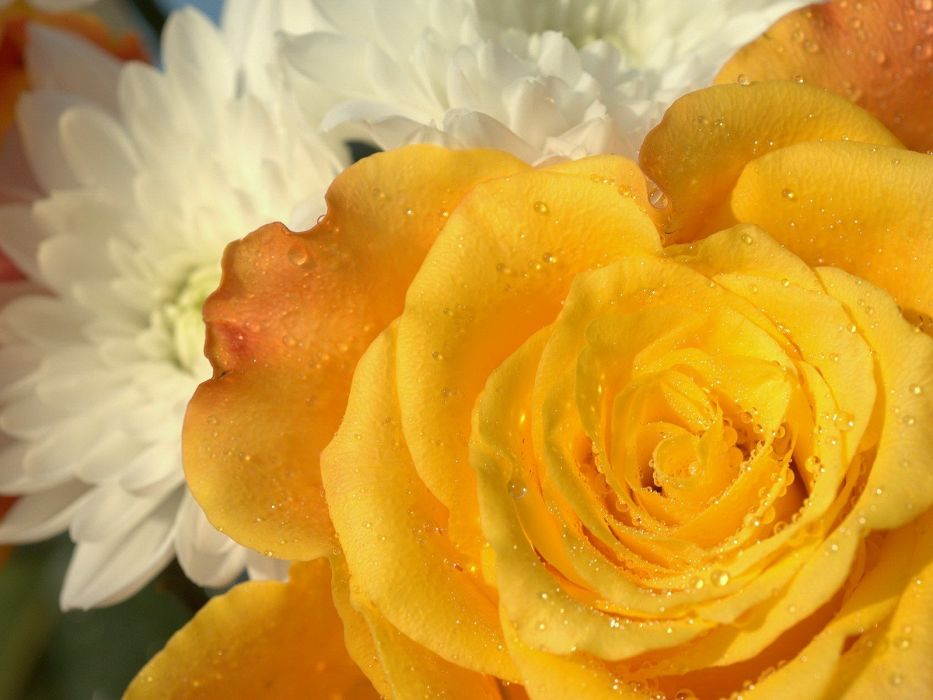 flowers macro roses yellow rose wallpaper