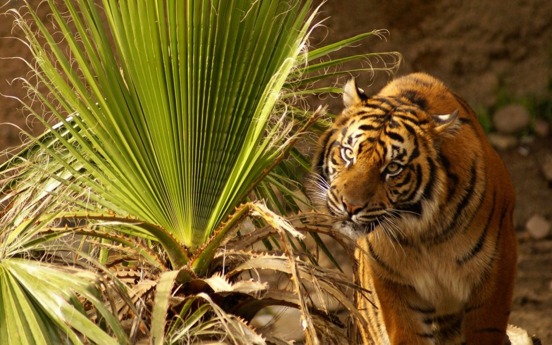 nature animals tigers palm leaves wallpaper