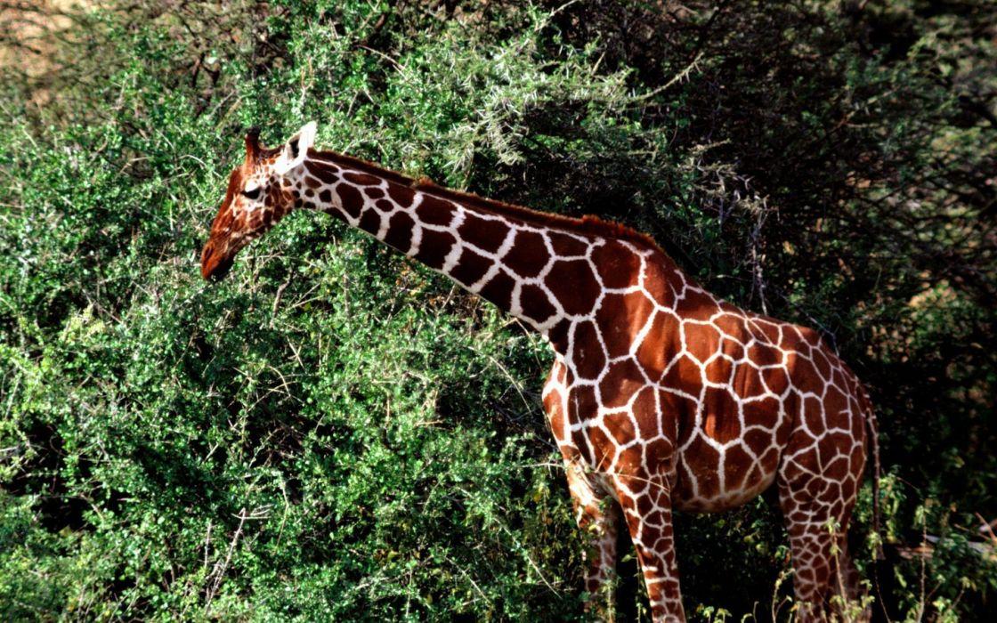 animals giraff wallpaper