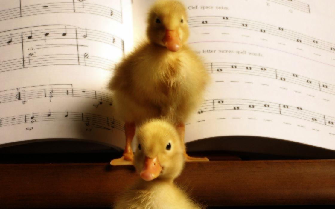 birds animals ducks duckling musical musical notes baby birds wallpaper