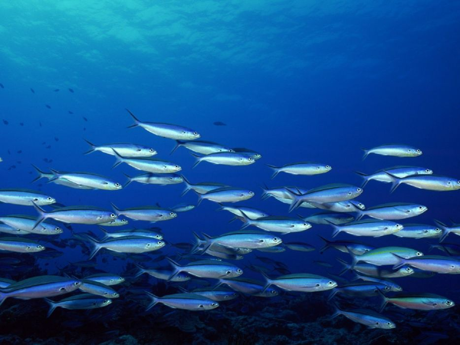 animals fish school wallpaper
