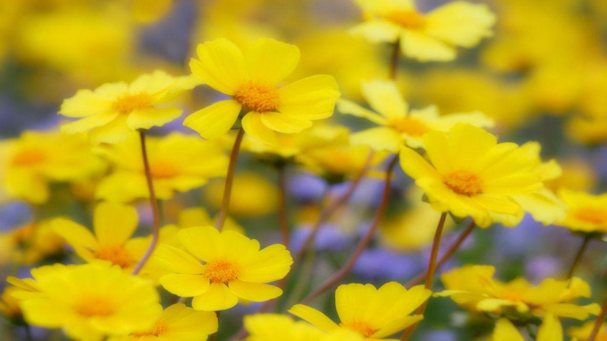 flowers California national yellow flowers wallpaper