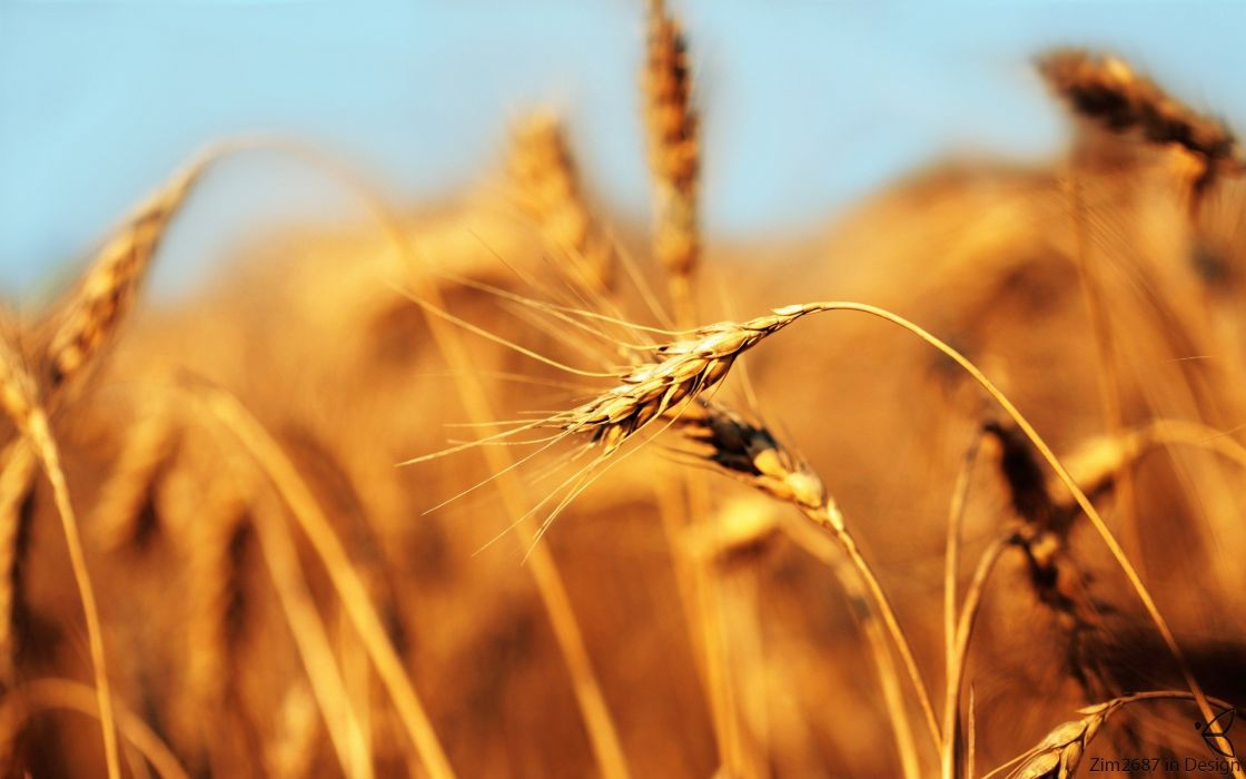 nature yellow wheat spikelets wallpaper