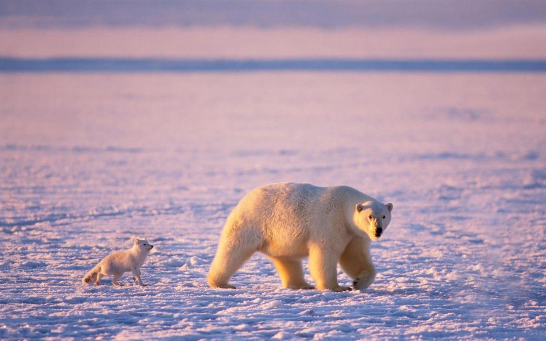 arctic polar bears arctic fox wallpaper
