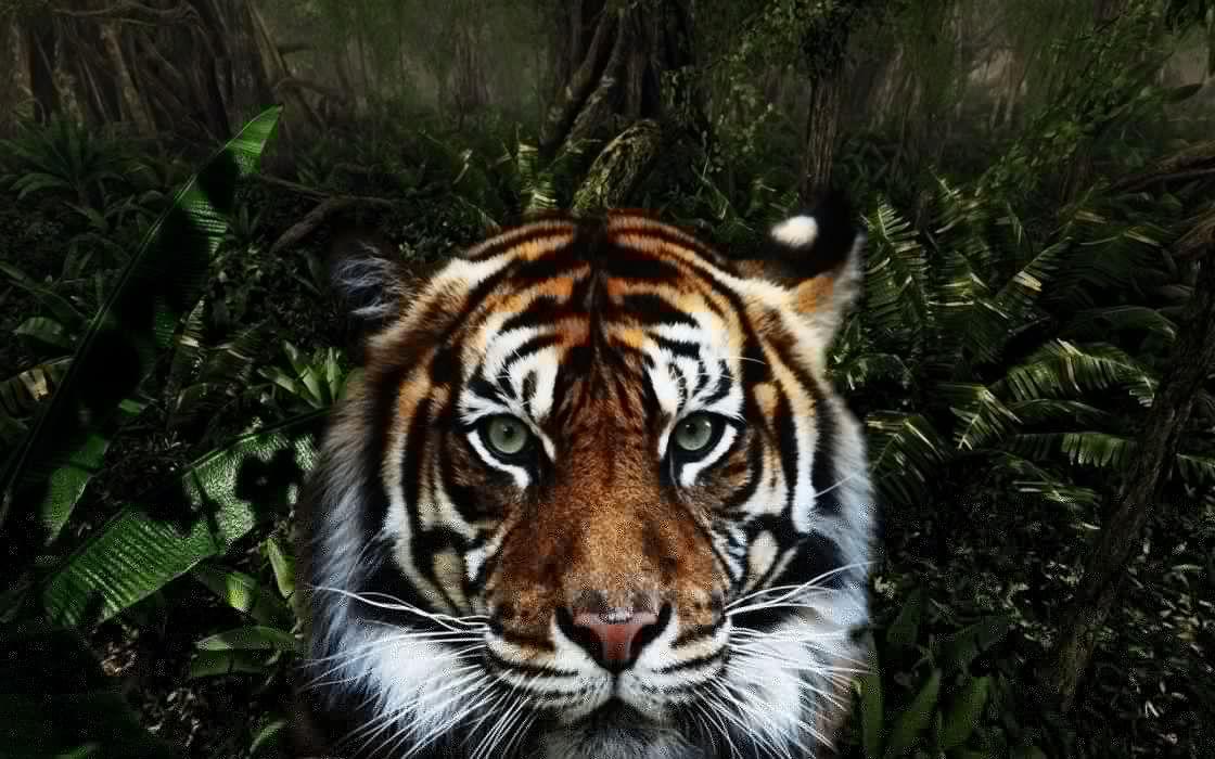 jungle animals tigers wallpaper