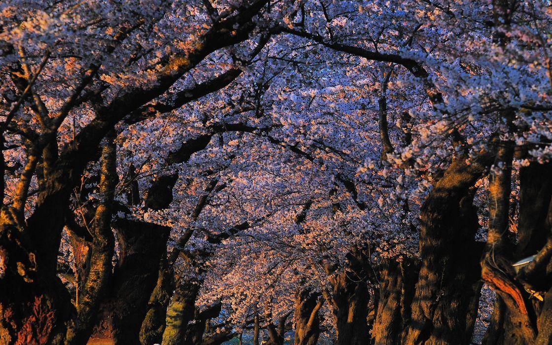 Japan landscapes nature trees blossoms sunlight Blossom wallpaper