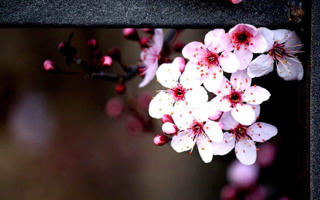 nature flowers bokeh railing pink flowers wallpaper
