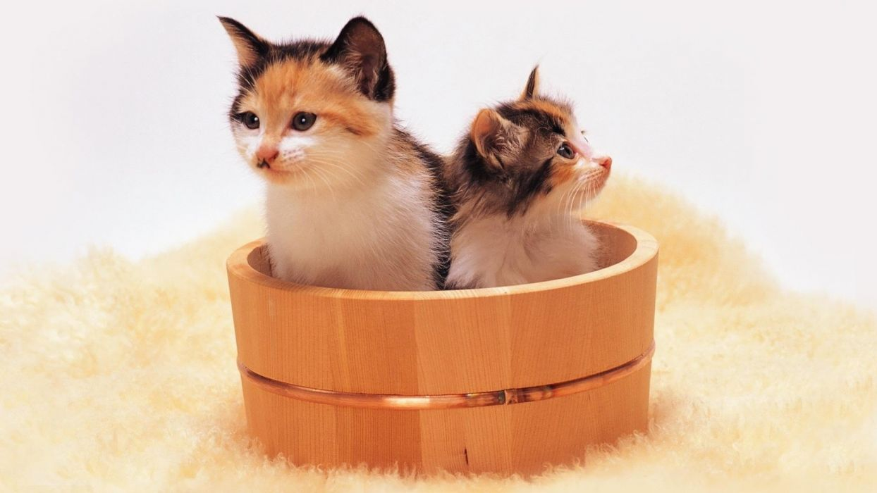 cats animals kittens bucket wallpaper