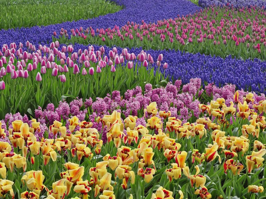 nature multicolor flowers tulips hyacinths wallpaper