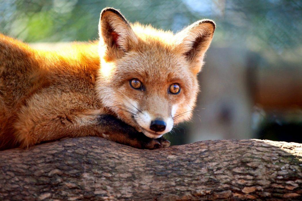 nature animals wildlife foxes wallpaper