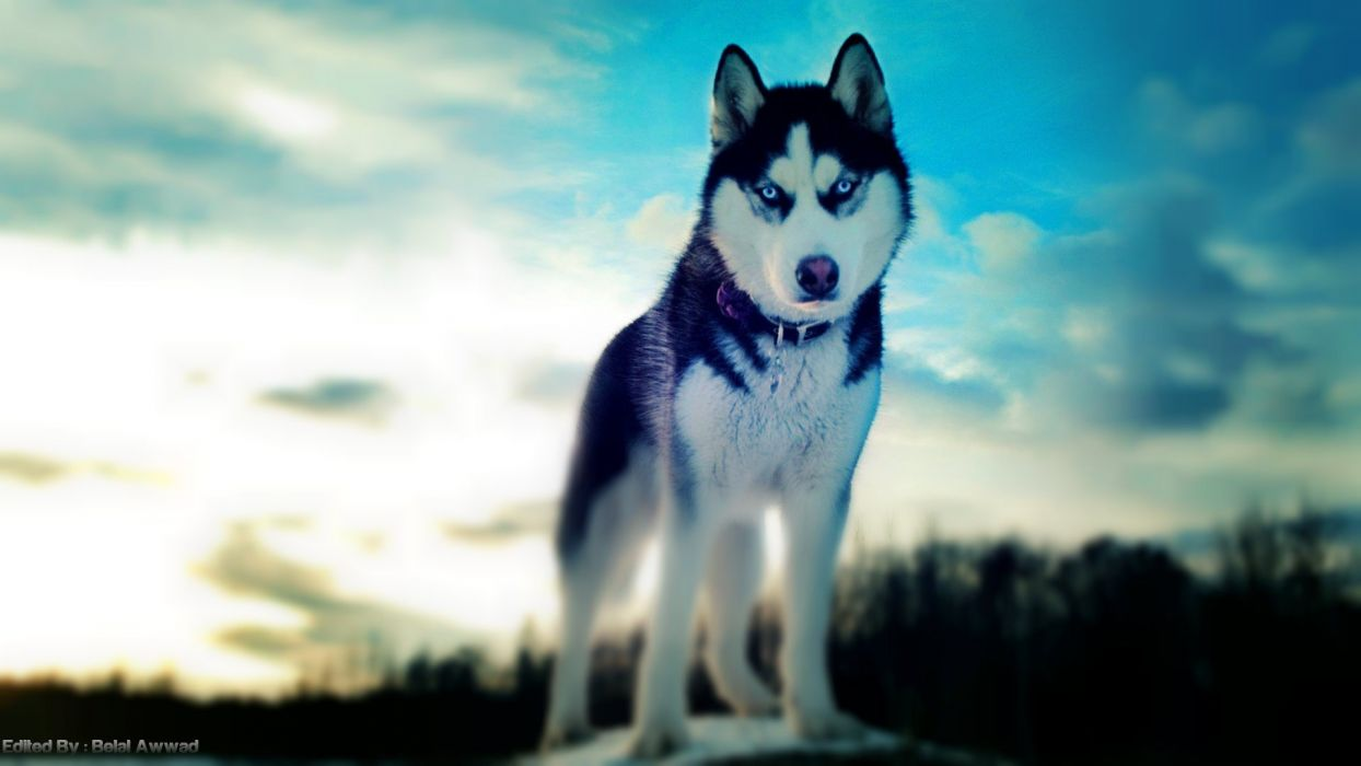 dogs husky Siberian husky siberian husky winter dogs wallpaper