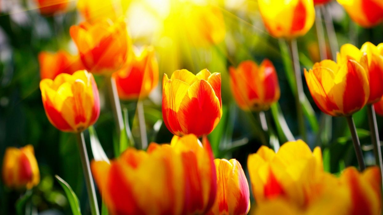 nature flowers tulips sunlight wallpaper