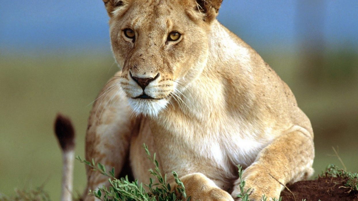 nature animals stare wildlife lions wallpaper