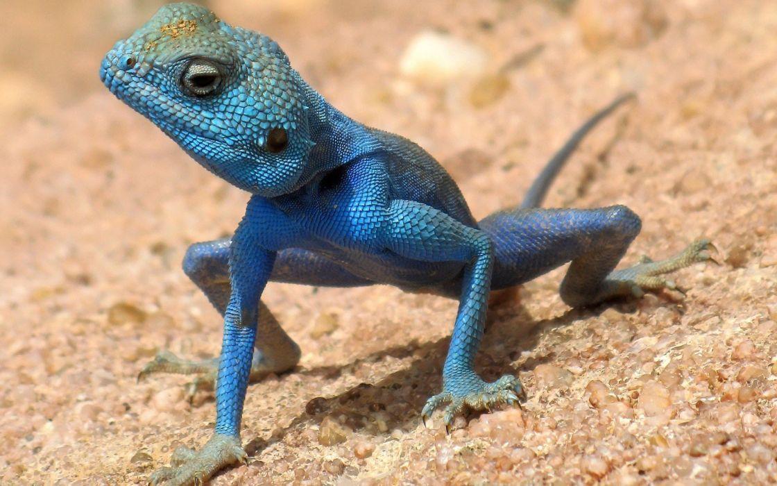 animals lizards wallpaper