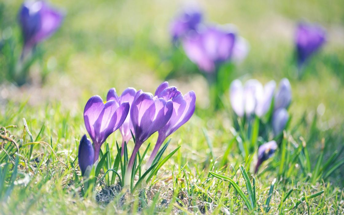 nature flowers macro crocus wallpaper