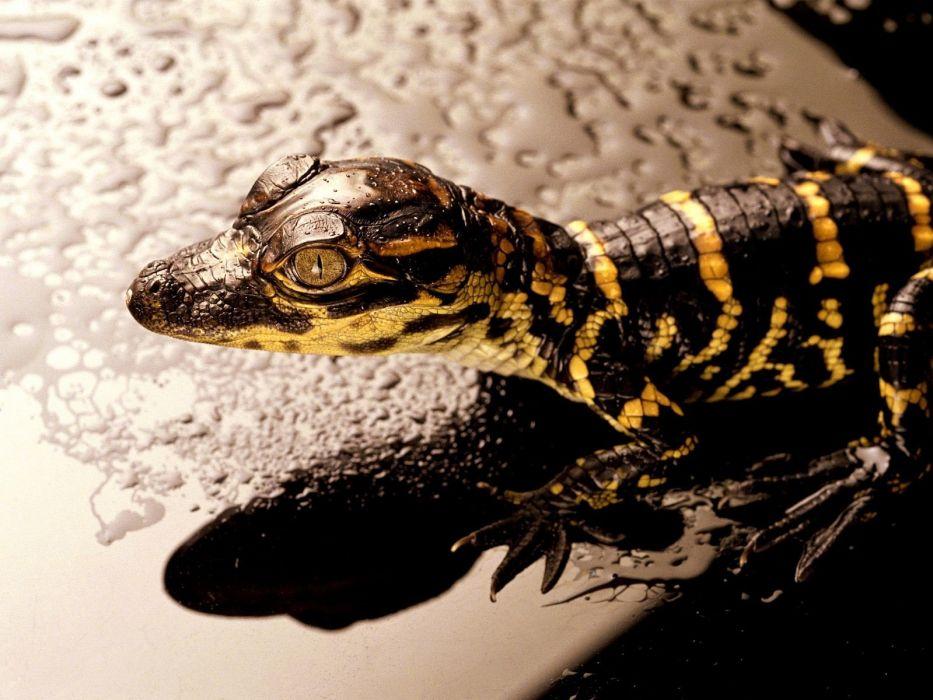 nature reptile reptiles wallpaper