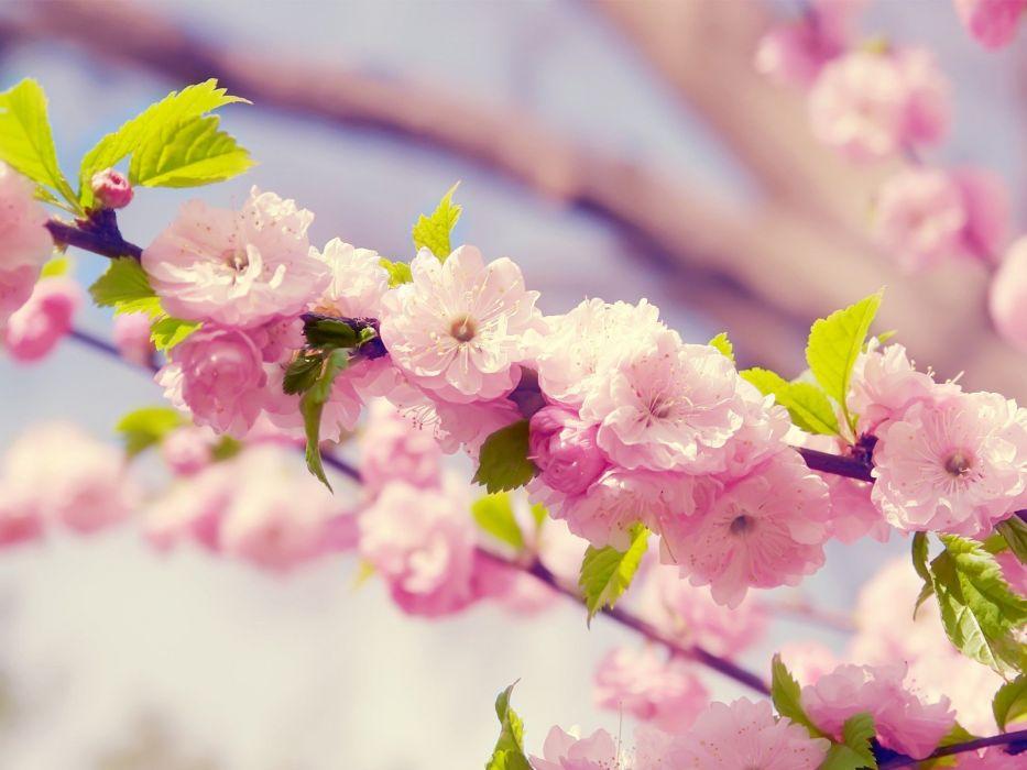 japanese pink cherry blossom  wallpaper