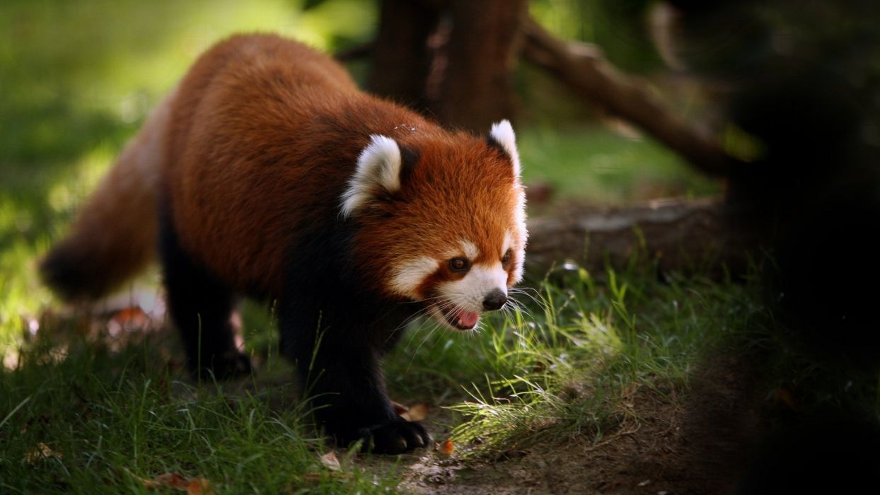 animals red panda wallpaper