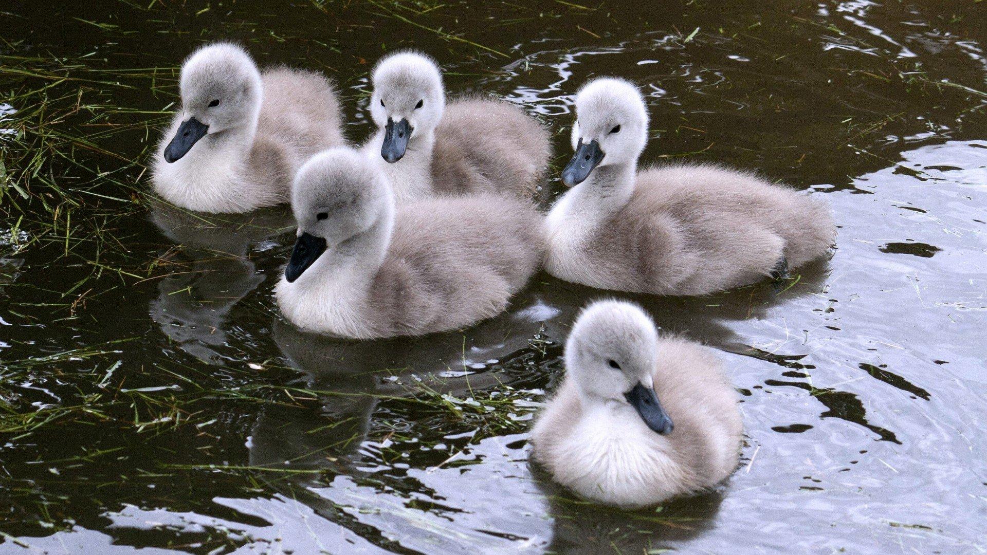 Birds Swans Swimming Baby Birds Wallpaper
