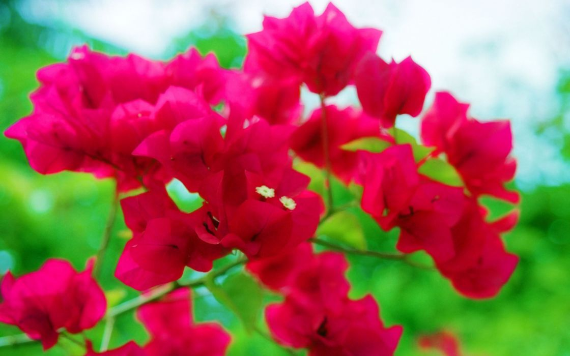 nature trees flowers forests bougainvillea wallpaper