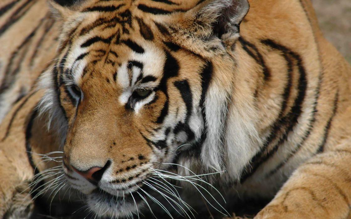 animals tigers wildlife wallpaper
