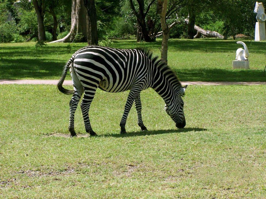 nature animals zebras wallpaper