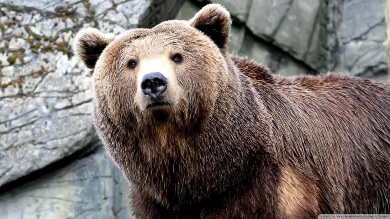nature animals bears brown bears wallpaper