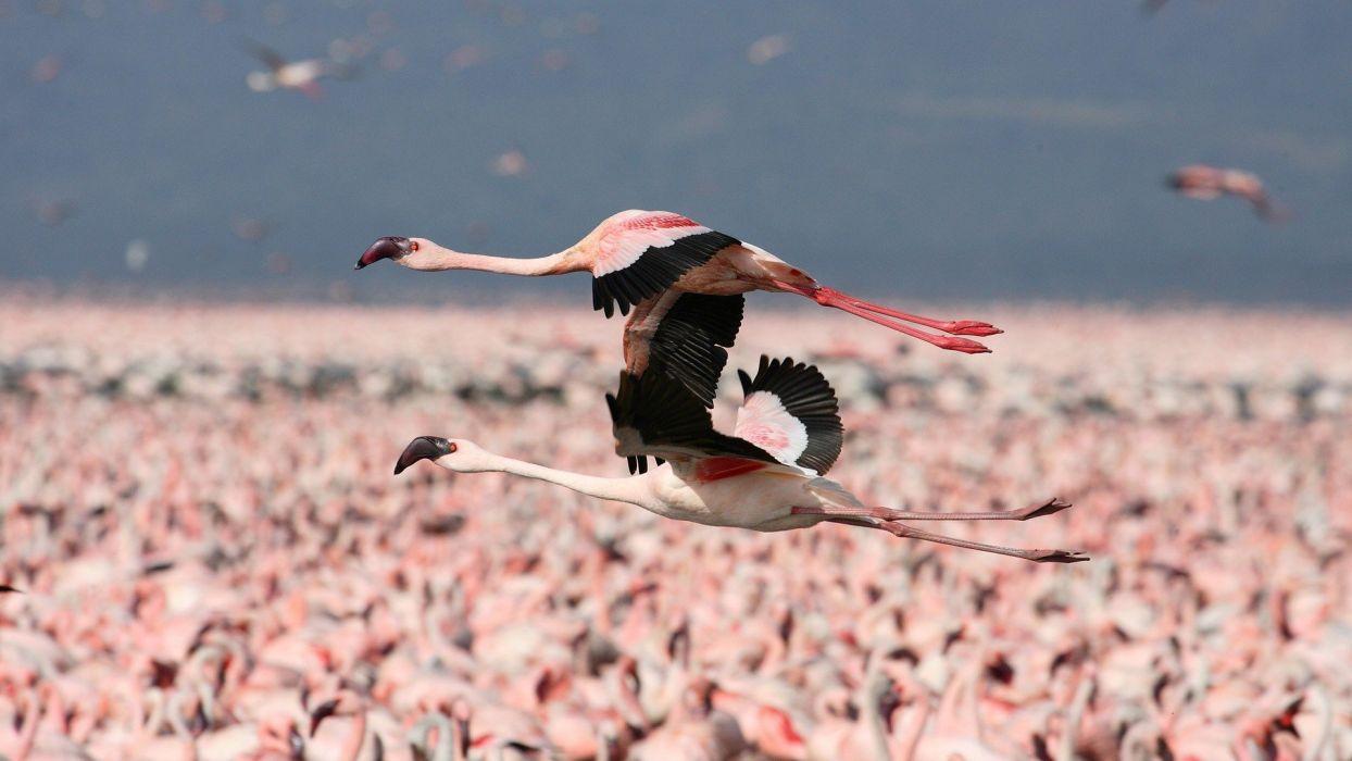 flamingos flight Kenya wallpaper