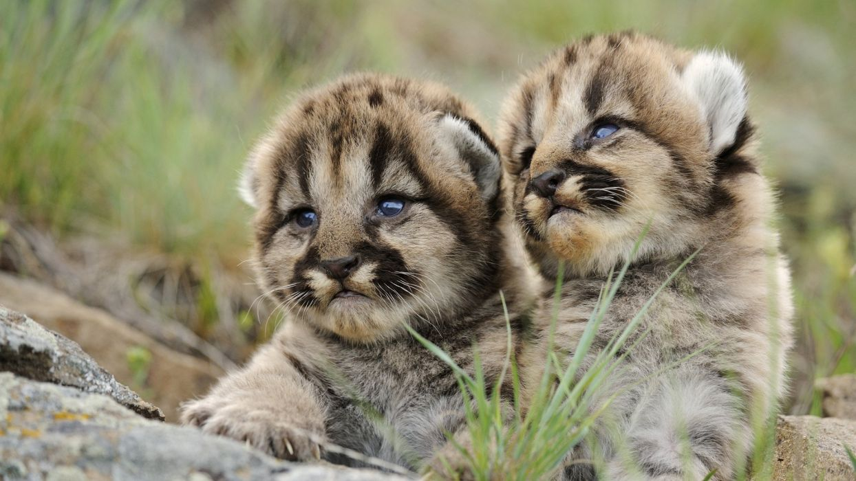 Animals Puma Cubs Baby Animals Wallpaper 1920x1080