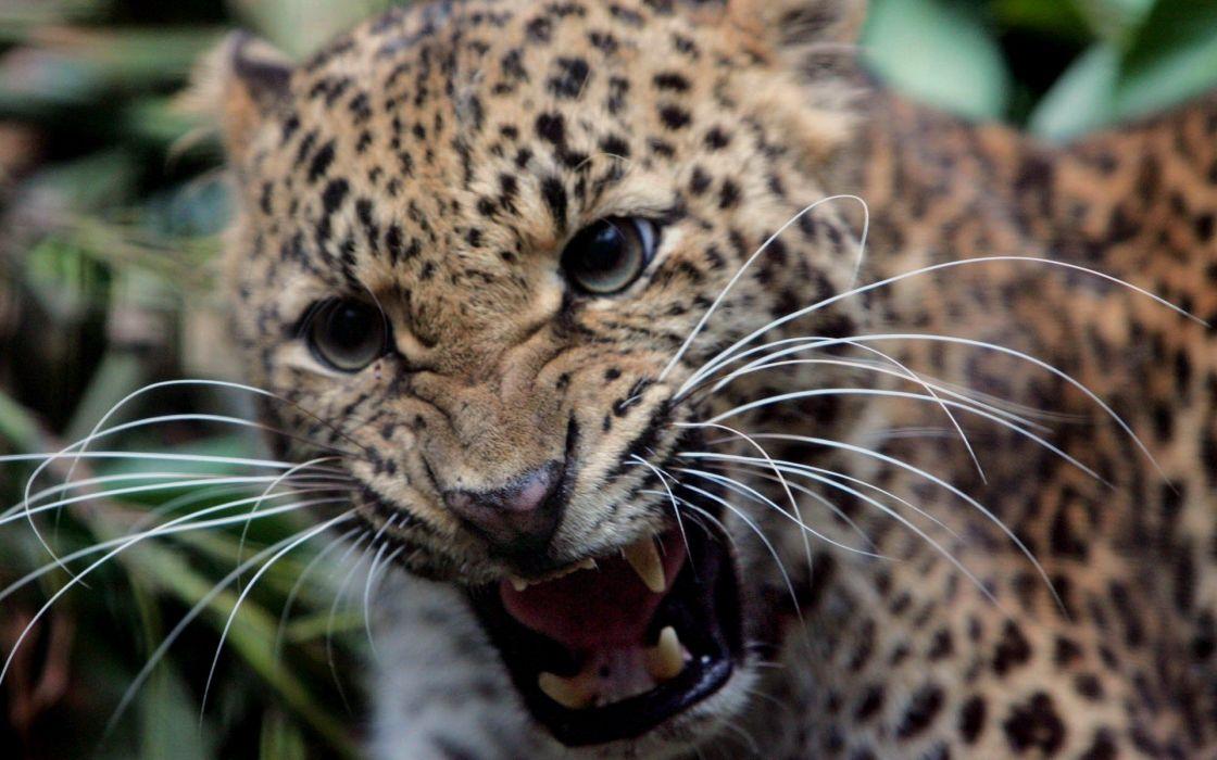 animals wildlife feline teeth jaguars wallpaper