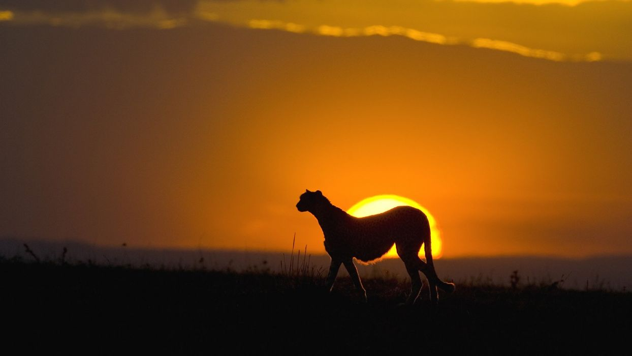 sunset silhouettes cheetahs wild cats wallpaper