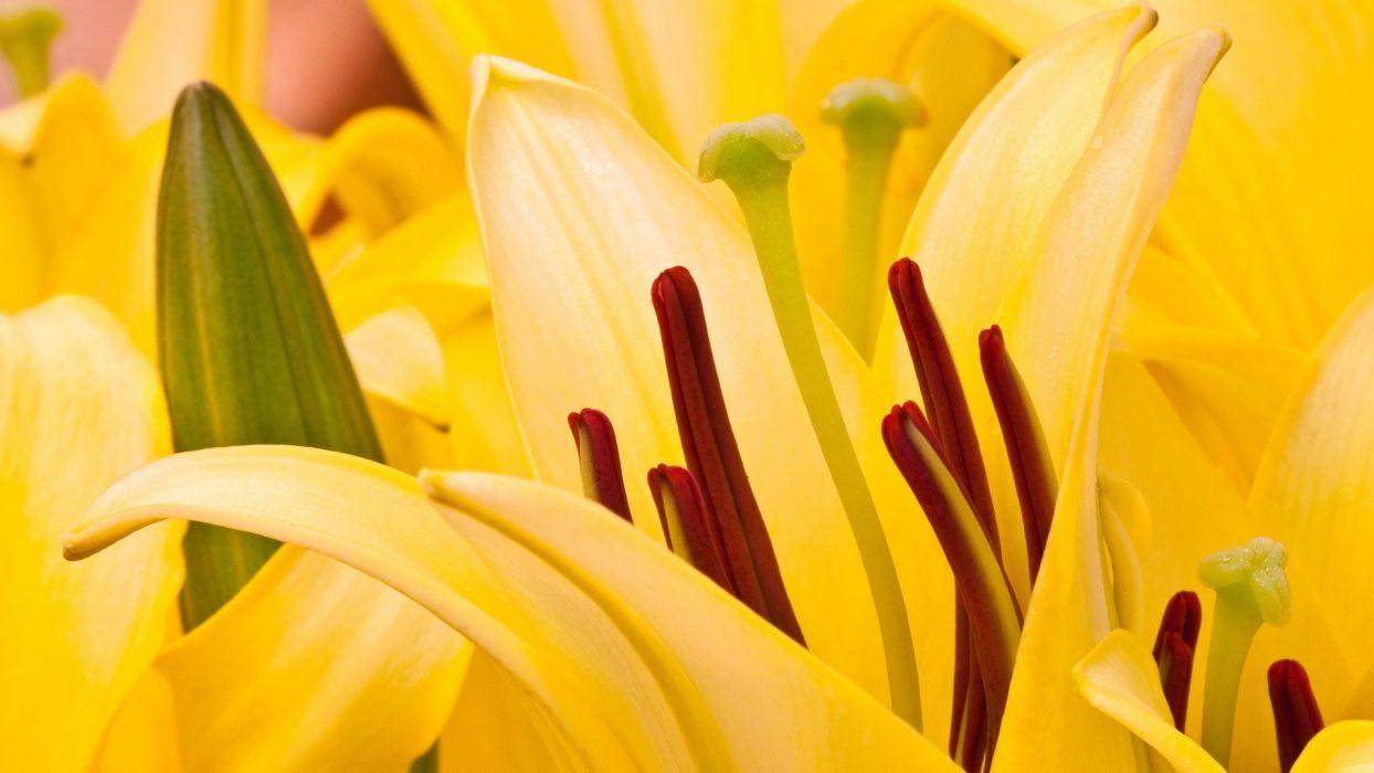 nature flowers plants oriental lilies wallpaper