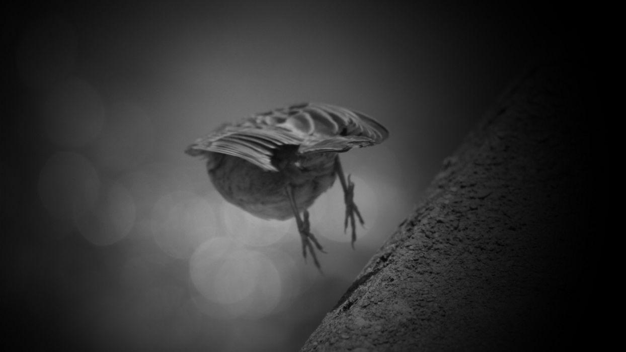 black and white birds animals sparrow flight monotone ledge wallpaper