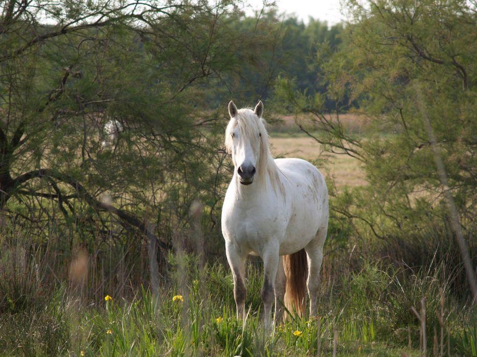animals horses white horse wallpaper