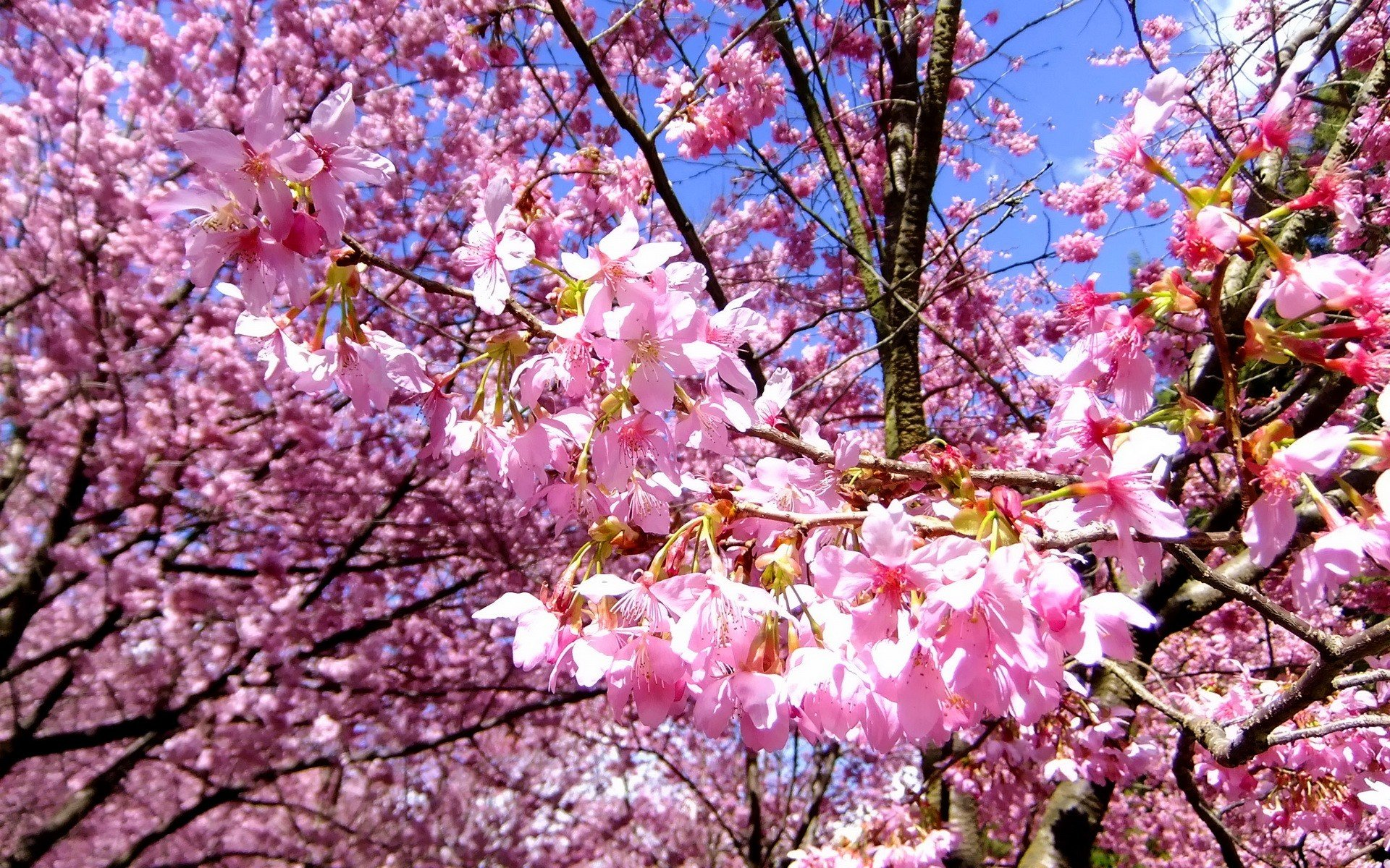 Nature cherry blossoms flowers spring branches pink flowers